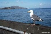 Gaviota con Alcatraz en el fondo